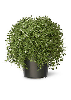 National Tree Company Argentea Plant with Green Pot