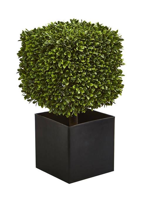 Boxwood Plant in Black Planter Indoor/Outdoor