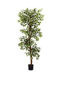 6-ft. Variegated Ficus Tree