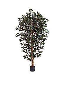 6-Foot Capensia Ficus Tree