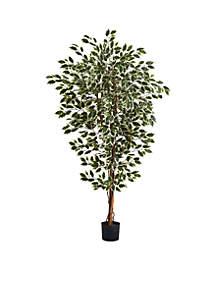 6-Foot Hawaiian Ficus Tree