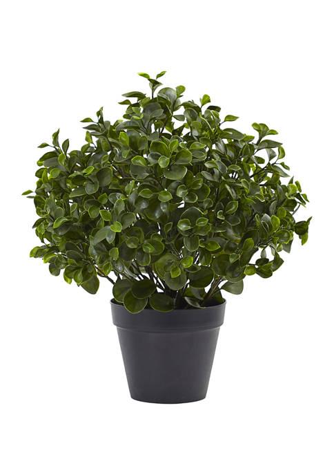 Peperomia Plant Indoor/Outdoor