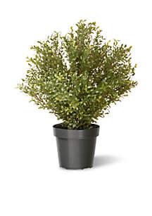 Argentea Plant with Green Pot