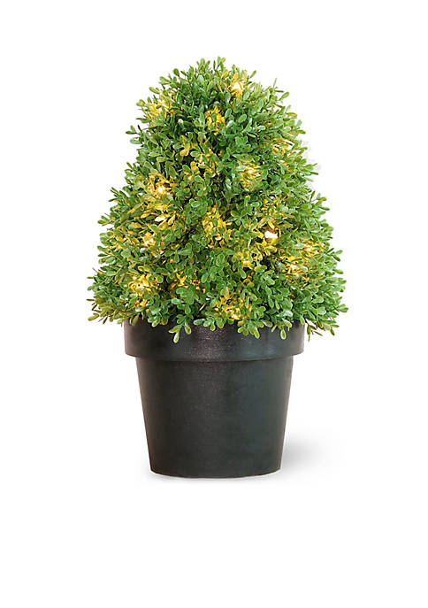 Boxwood Tree