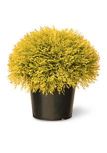 Golden Juniper Bush with Green Pot